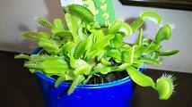 20090816-flytrap.JPG