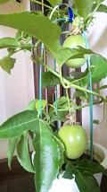 20090816-passion fruit.JPG
