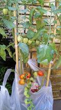 20090816-tomato.JPG
