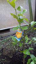 20090817-lemontree.JPG