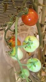 20090901-tomato1.JPG
