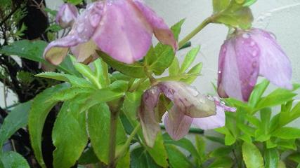 20100405-okujopinkuflowers.JPG