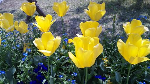 20100426-tulip.JPG